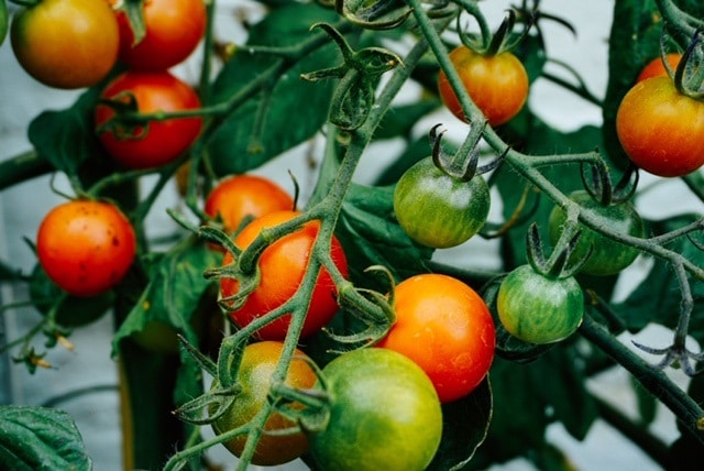 image of tomatoes which communicate clearly