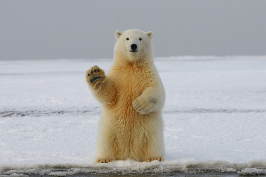 image of polar bear to illustrate Marketing tips for surviving winter