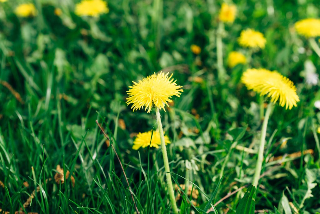 How to take control of your business weeds illustrated with dandelions