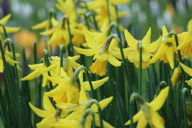 daffodils to illustrate how to describe your audience