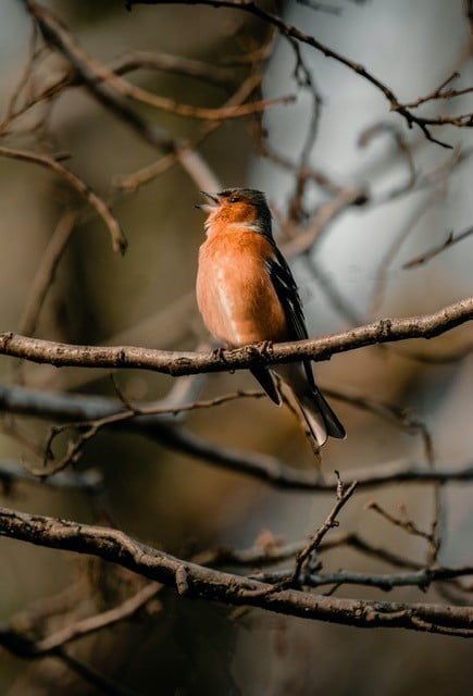 chaffinch to illustrate blog on how to be visible