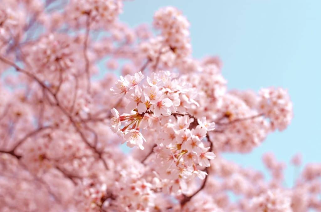 image of cherry blossom to illustrate how to get vallue from blogging
