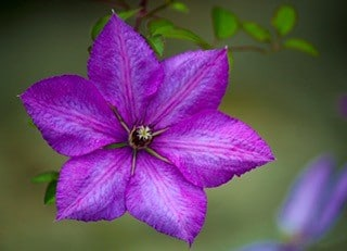 clematis to illustrate topic how to build back better